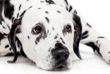 Fototapeta Dogs - Beauty dalmatian dog, isolated on white background