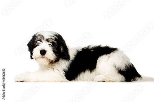 Polish Lowland Sheepdog isolated on a white background Wallpaper Mural