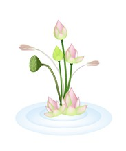 Lotus Flowers And Pod On A Water