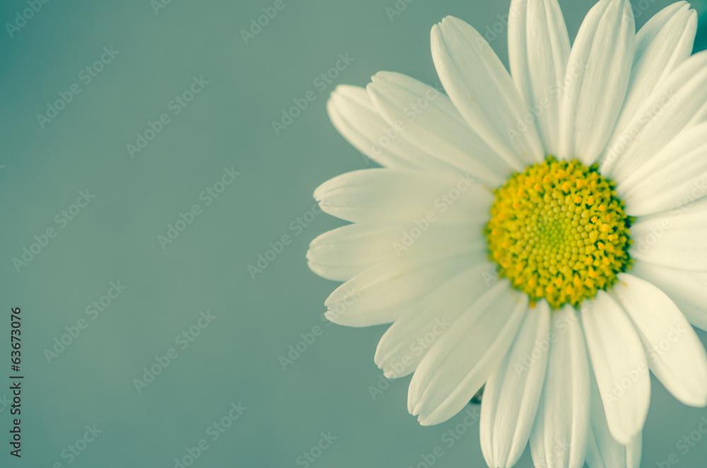 Fototapeta daisy