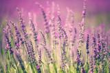 Kwiat lawendy - 63677265