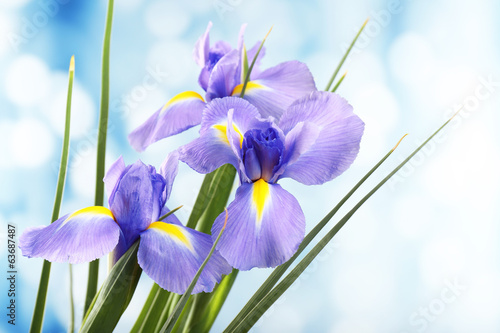 Beautiful iris flower on bright background