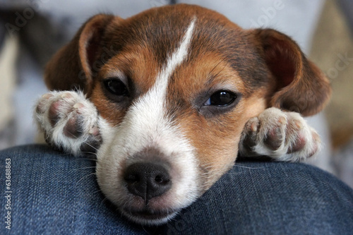 Cute beagle puppy sleep © Mari79
