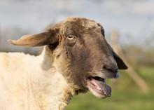 Sheep Bleats