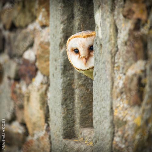 barn owl bird Fototapete