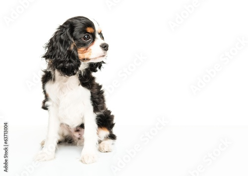Fotomural Cavalier King Charles Spaniel isolated on white background