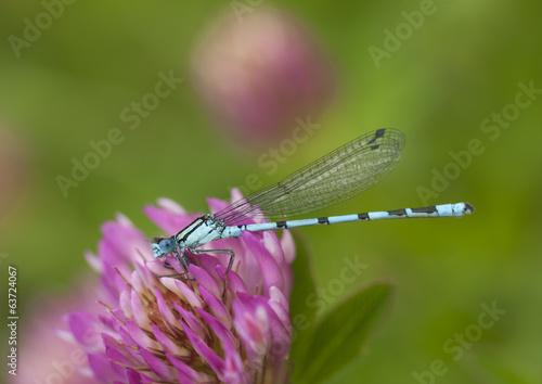 Azure damselfly sitting on clover flower