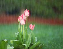 Blooming Flowers In Springtime...
