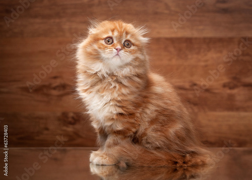 Fototapeta red highland kitten on mirror and wooden texture obraz