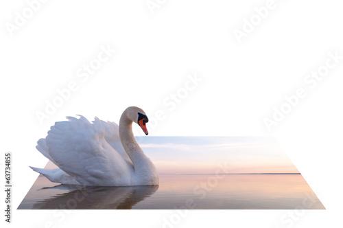 Poster Blanc swan