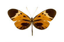 Tropical Batterfly Collection Melinaea Mnasias Comma