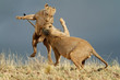 canvas print picture - Playful African lions, Kalahari desert