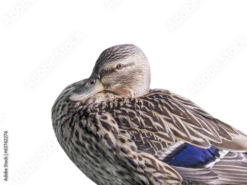 Photo  Female mallard duck - isolated
