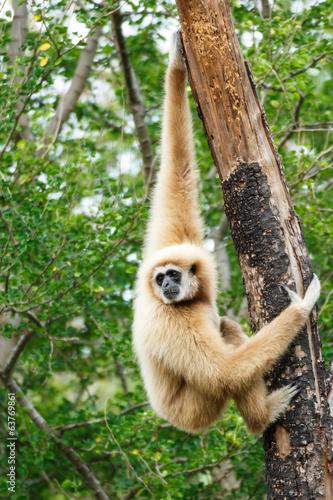Canvastavla Gibbon (Hylobates lar) climb tree in forest ,Chiangrai ,Thailand