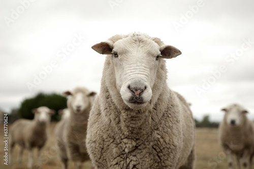 Fotobehang Schapen Sheep
