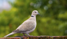 Eurasian Collared Dove ( Streptopelia Orientalis)