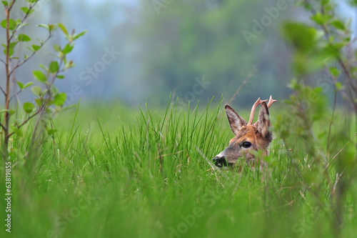 Foto op Plexiglas Ree Roe deer