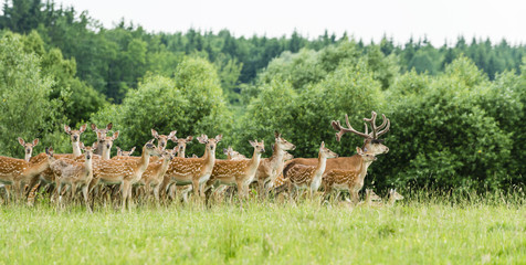 FototapetaHerd of fallow deer in forest glade