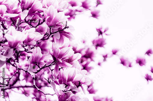 Magnolia Magnolia flower blossom