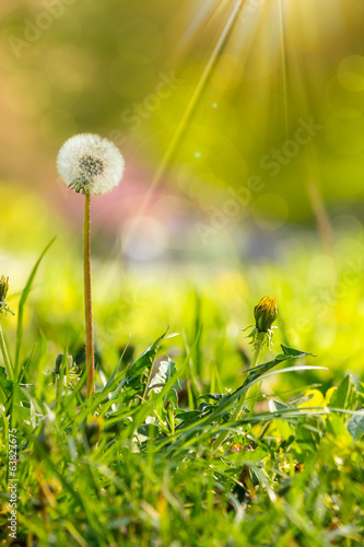 Keuken foto achterwand Lente white dandelion on green grass blur background
