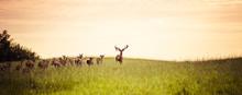 Herd Of Fallow Deer Running On...