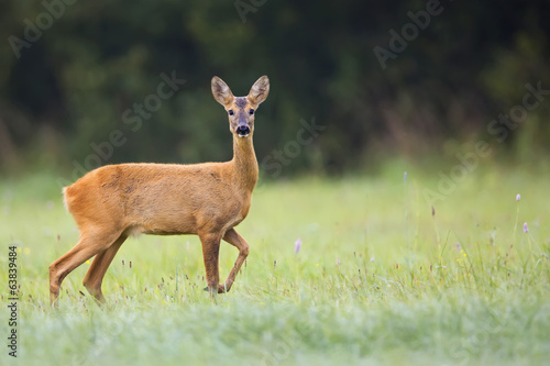 Staande foto Ree Beautiful roe-deer in the wild, in a clearing