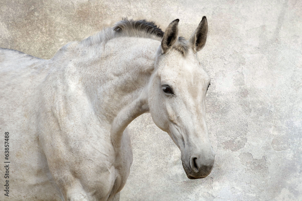 Fototapety, obrazy: Portrait of beautiful white horse against the wall