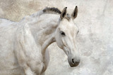 Portrait of beautiful white horse against the wall - 63857488