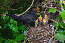 Blackbird Nest Male Feeding Ch...