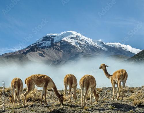 Poster South America Country Vigognes au pieds du volcan Chimborazo