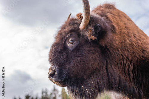 Photo Stands Bison Bison