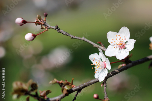Close up of branches filled with almond blossoms плакат