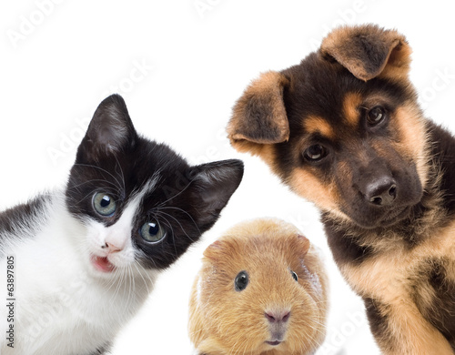 Fototapety, obrazy: Puppy and kitten and guinea pig