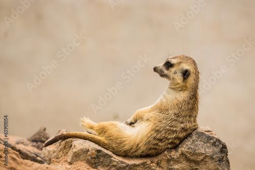 Fotografie, Obraz  meerkat is sitting.