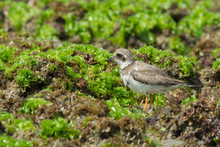 Ringed Plover Standing On Seaw...