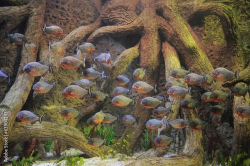 Valokuva  Some Orange Piranhas into the Hot Tropical Water