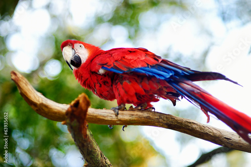 Red macaw parrot on a branch Canvas Print
