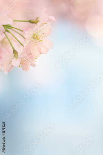 Aluminium Prints Blue sky Small sakura blossom tree blooming with empty blue background
