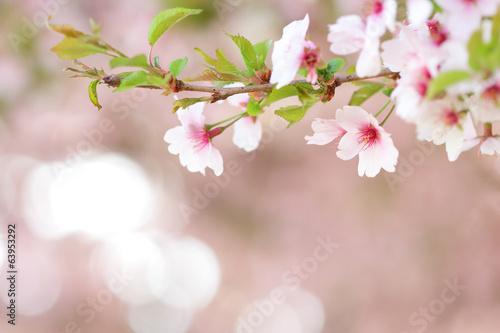 Fotografie, Obraz  Sakura branch blooming in spring  with blurred background
