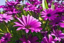 Purple Osteopermum African Dai...