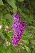 Syringa Lilac background