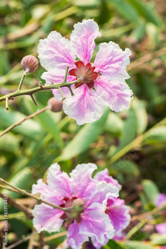 Tuinposter Azalea Close up of Lagerstroemia speciosa flower