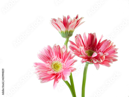 In de dag Dahlia Three pink Gerbera daisies isolated on white background