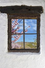 Fototapeta almond grove in flower behind the old wooden window in the wall