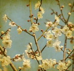 Fototapetawhite plum bloossom