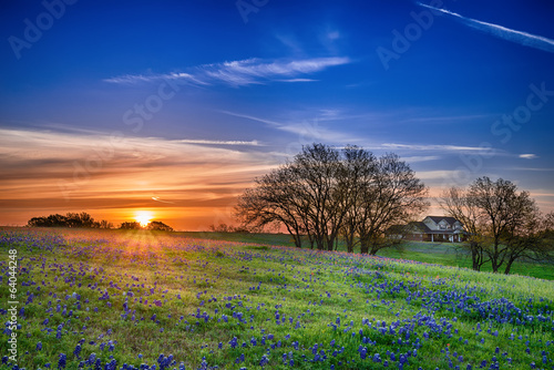 Spoed Foto op Canvas Zonsondergang Texas bluebonnet wildflower spring field at sunrise