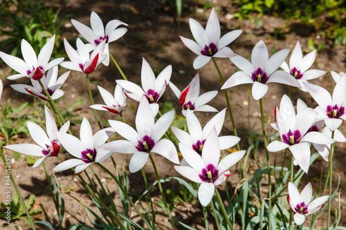 Foto auf Gartenposter Tulpen Stervormige tulpen
