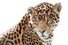 Portrait Of A Beautiful Jaguar