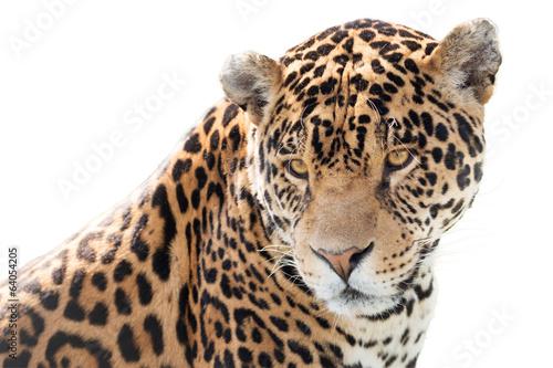 Portrait of a beautiful jaguar Canvas Print