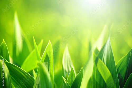 Fresh green grass as spring season background